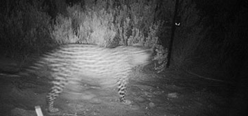 Updated Cape Mountain Leopard Sighting - 06.03.2015