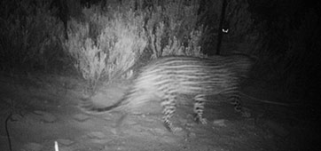 Updated Cape Mountain Leopard Sighting - 03.01.2015