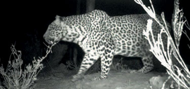 Updated Cape Mountain Leopard Sighting - 08.08.2014