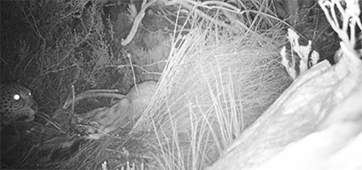 Updated Cape Mountain Leopard Sighting - 01.12.2014